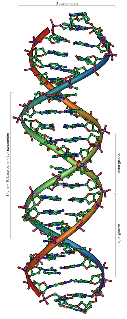 DNA, the molecule containing the genetic instructions for the development and functioning of all known living organisms. DNA Overview.png