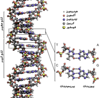 DNA Structure+Key+Labelled.pn NoBB ar.png