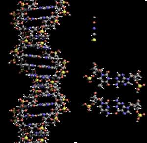 DNA Structure+Key+Labelled.pn NoBB ar.png