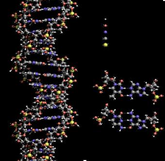 cb454a4e1 بنية اللولب المزدوج للدنا تظهر بنيتي زوجين قاعديين بالتفصيل والثلمين الكبير  والصغير، الذرات ملونة حسب العنصر الكيميائي.