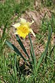 Daffodil at the Colomby de Gex - panoramio (1).jpg