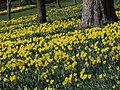 Daffodils - geograph.org.uk - 383299.jpg