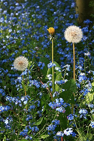 Dandelions and Forget-Me-Nots In a sycamore co...