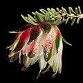 Darwinia polychroma - Flickr - Kevin Thiele (1).jpg
