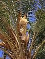 Date palm flowers (3304699660).jpg