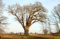 De 'Duizendjarige Eik' , opgaande boom - 375543 - onroerenderfgoed.jpg