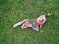 Dead rabbit in the field system south of Easton Royal, Wiltshire - geograph.org.uk - 357372.jpg