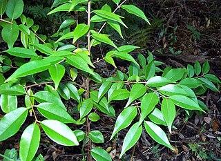 <i>Decaspermum</i>