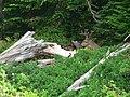 Deer (00431e3e01b74f6ebf0bf9cfd69da594).JPG