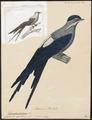 Dendrochelidon mystacea - 1825-1839 - Print - Iconographia Zoologica - Special Collections University of Amsterdam - UBA01 IZ16700107.tif