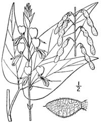 Desmodium cuspidatum var cuspidatum (as Meibomia bracteosa) BB-1913.png