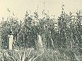Deutsch-Ostafrika, Ostafrikanische Nutzpflanzen (Busse) - Tafel 37 - Sorghum-Hirse.jpg