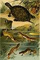 Deutschlands Amphibien und Reptilien. Eine Beschreibung und Schilderung sämmtlicher in Deutschland und den angrenzenden Gebietan vrokommenden Lurche und Kreichthiere (1897) (20267536063).jpg
