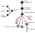 Dezvoltarea megacariocitelor.png