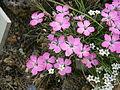 Dianthus pavonius 01.jpg