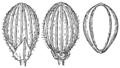 Dichanthelium perlongum (as Panicum perlongum) HC-1910.png