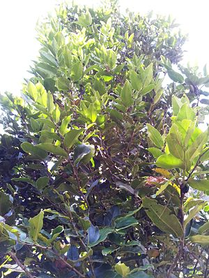 Diospyros tessellaria - Foliage of Mauritian ebony - Monvert Nature Park