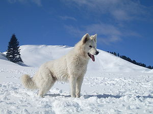 Berger Blanc Suisse - Berger Blanc Suisse in the snow