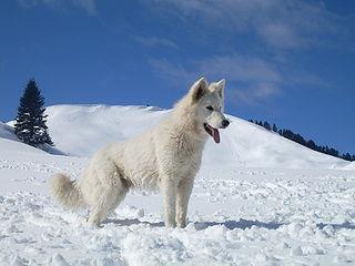 White Swiss Shepherd Dog Swiss breed of dog