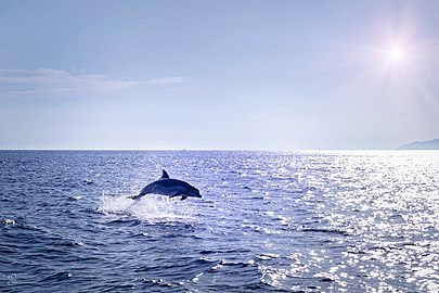 Dolphin at Biševi island.jpg