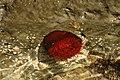 Domato anemon - Domates anemonu - panoramio.jpg