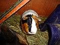 Domesticated guinea pigs 12.jpg
