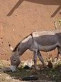 Donkey (26543560010).jpg