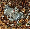Door sperwer (Accipiter nisus) gedode houtduif (Columba palumbus). Locatie, Natuurterrein De Famberhorst 06.jpg