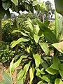 Dracaena fragrans (L.) Ker Gawl.jpg