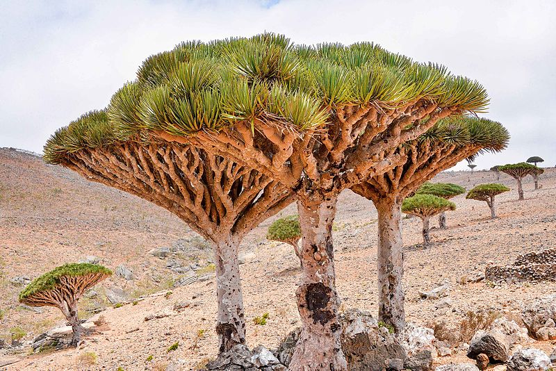 File:Dragon's Blood Trees, Socotra Is. (24142290504).jpg