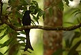 Drongo Cuckoo DSC 2572.jpg