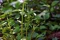 Dryopteris marginalis 4zz.jpg