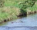 Ducks on Kip Water - geograph.org.uk - 443628.jpg