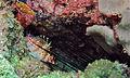 Dwarf Hawkfish (Cirrhitichthys falco) (8503676402).jpg