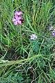 Dyanthus pontederae 02.jpg