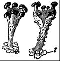 EB1911 Lichens - Cladonia coccifera.jpg