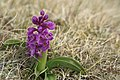 Early Purple Orchid (Orchis mascula) - geograph.org.uk - 723027.jpg