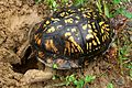 Eastern Box Turtle (1046231473).jpg