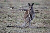 Eastern Grey kangaroo, Majura Nature Reserve ACT 01.jpg