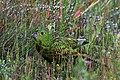 Eastern Ground Parrot at Barren Grounds Nature Reserve NSW Australia.jpg