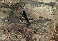 Ebony Jewelwing Dragonfly AIDF-7.jpg