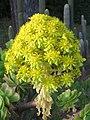 Echeveria species at Ooty (10).jpg
