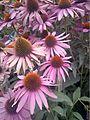 Echinacea purpurea-20140805.jpg