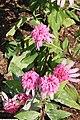 Echinacea purpurea Double Delight 1zz.jpg