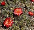 Echinopsis hertrichiana 2.jpg