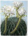 Echinopsis obrepanda ssp obrepanda BlKakteenT100.jpg