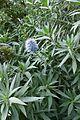 Echium candicans kz1.jpg