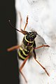Echter Widderbock Clytus arietis 8537.jpg