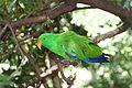 Eclectus roratus -Adelaide Zoo, Australia -male-8a (1).jpg