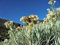 Edelweiss dan langit biru Papandayan.jpg